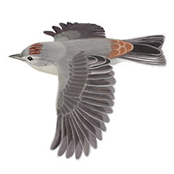 Lucy's Warbler Flight Illustration