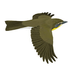 Yellow-breasted Chat Flight Illustration