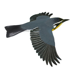 Yellow-throated Warbler Flight Illustration
