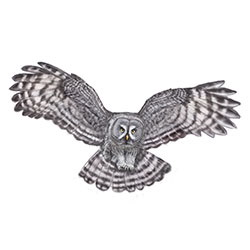 Great Gray Owl Flight Illustration