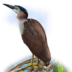 Rufous Night-Heron Body Illustration
