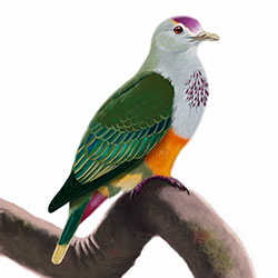Palau Fruit-Dove Body Illustration