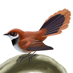Palau Fantail Body Illustration
