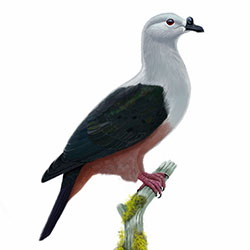 Micronesian Imperial-Pigeon Body Illustration
