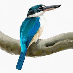 Collared Kingfisher Body Illustration