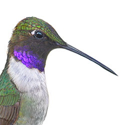 Black-chinned Hummingbird Head Illustration.jpg
