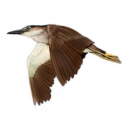 Rufous Night-Heron Flight Illustration