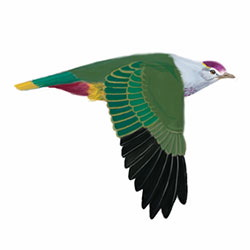 Palau Fruit-Dove Flight Illustration