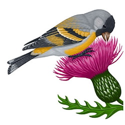 Lawrence's Goldfinch Body Illustration