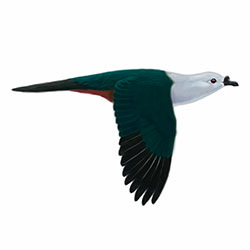 Micronesian Imperial-Pigeon Flight Illustration