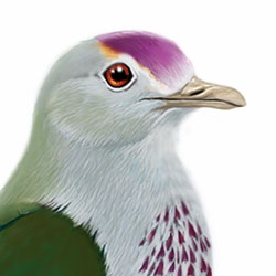 Palau Fruit-Dove Head Illustration