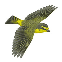 Yellow-fronted Canary Flight Illustration