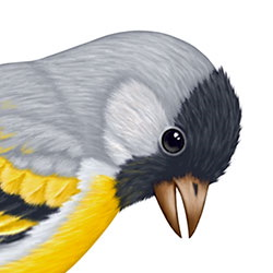 Lawrence's Goldfinch Head Illustration