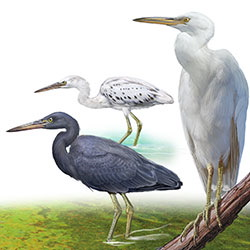 Pacific Reef-Heron Body Illustration