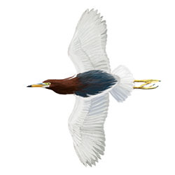 Chinese Pond-Heron Flight Illustration