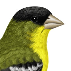 Lesser Goldfinch Head Illustration