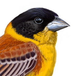 Black-headed Bunting Head Illustration