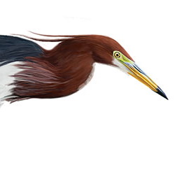 Chinese Pond-Heron Head Illustration