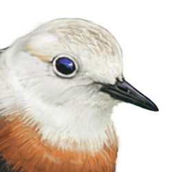 Oriental Plover Head Illustration