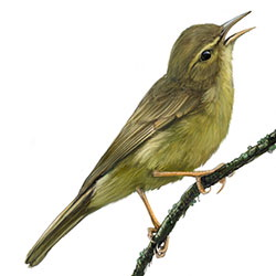 Palau Bush-Warbler Body Illustration