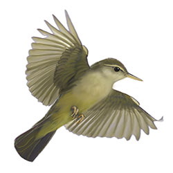 Palau Bush-Warbler Flight Illustration