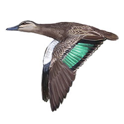 Pacific Black Duck Flight Illustration