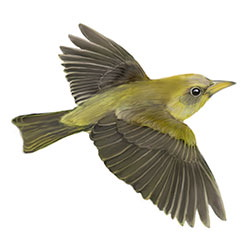 Giant White-eye Flight Illustration