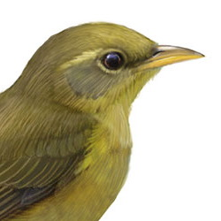 Giant White-eye Head Illustration