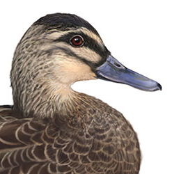 Pacific Black Duck Head Illustration