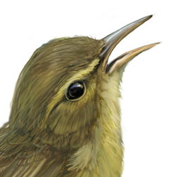 Palau Bush-Warbler Head Illustration