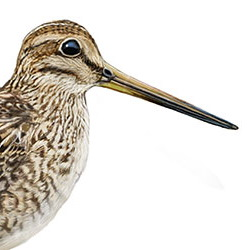 Swinhoe's Snipe Head Illustration