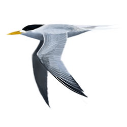 Greater Crested Tern Flight Illustration