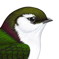 Violet-green Swallow Head Illustration