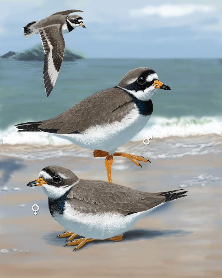 Common Ringed Plover (Palau)_CEPortrait_1200
