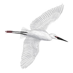 Little Egret (Palau) Flight Illustration