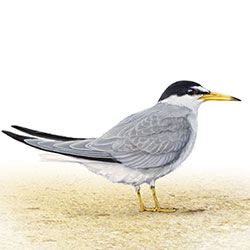 Little Tern Body Illustration