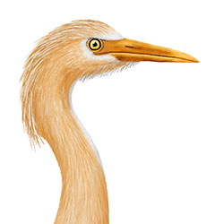 Cattle Egret (Palau) Head Illustration