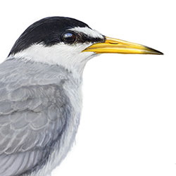 Little Tern Head Illustration