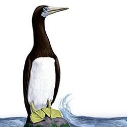Brown Booby (Palau) Body Illustration