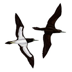 Brown Booby (Palau) Flight Illustration
