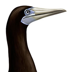 Brown Booby (Palau) Head Illustration
