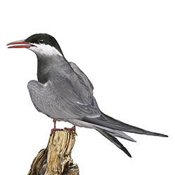Whiskered Tern Body Illustration
