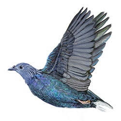 Nicobar Pigeon Flight Illustration