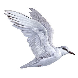 Whiskered Tern Flight Illustration