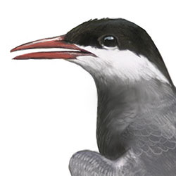 Whiskered Tern Head Illustration