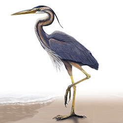 Purple Heron Body Illustration