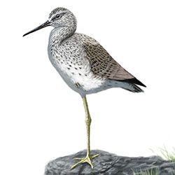Marsh Sandpiper Body Illustration