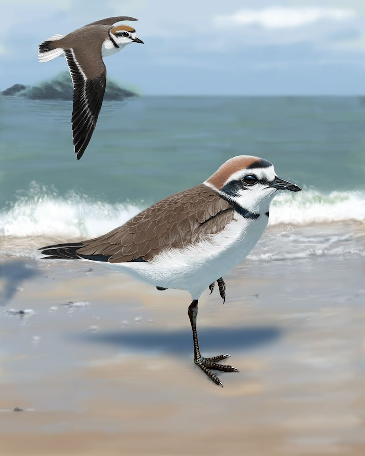 Kentish Plover_CEPortrait_1200