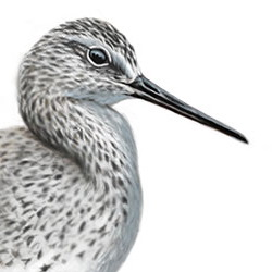 Marsh Sandpiper Head Illustration