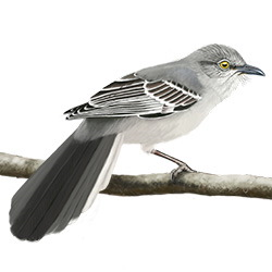 Northern Mockingbird Body Illustration